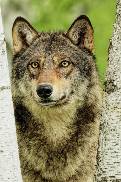 Wall Art - Photograph - Adult Gray Wolf Peering Around Birch by Adam Jones