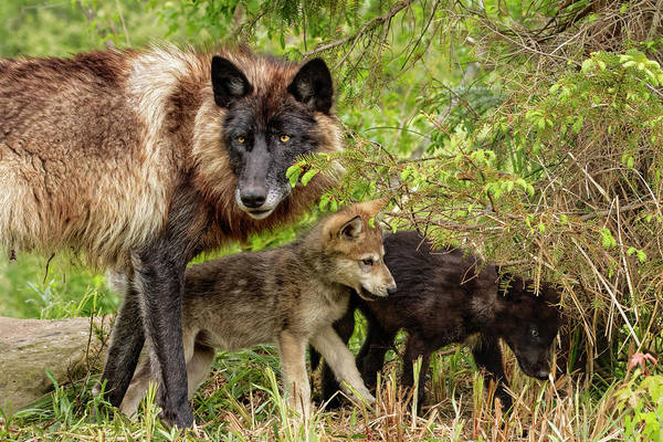 Wall Art - Photograph - Adult Gray Wolf With Pups Wrestling by Adam Jones