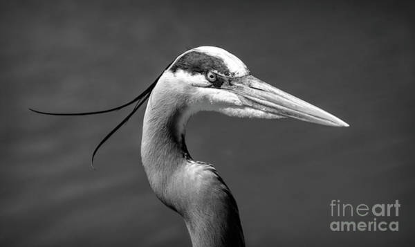 Wall Art - Photograph - Adult Great Blue Heron Close Up Portrait High-res Bw by Stefano Senise