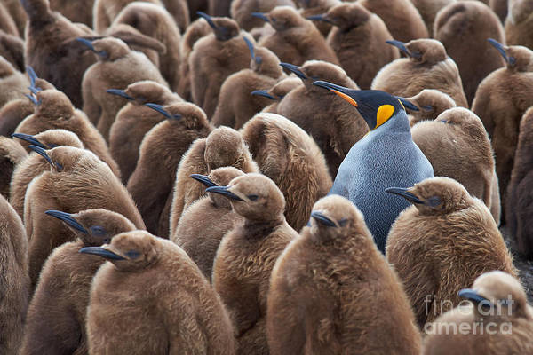 Wall Art - Photograph - Adult King Penguin Aptenodytes by Jeremyrichards