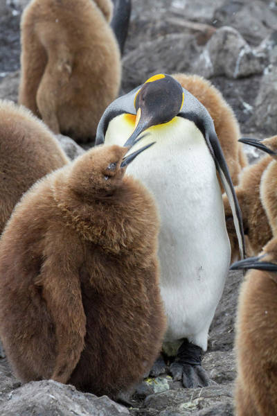 Wall Art - Photograph - Adult King Penguin With Chick by Tom Norring