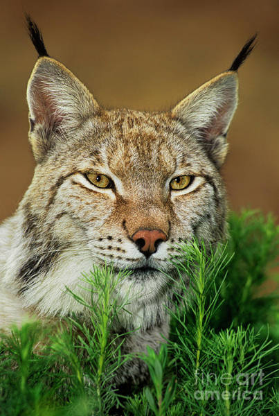 Photograph - Adult Lynx Felis Lynx Captive by Dave Welling