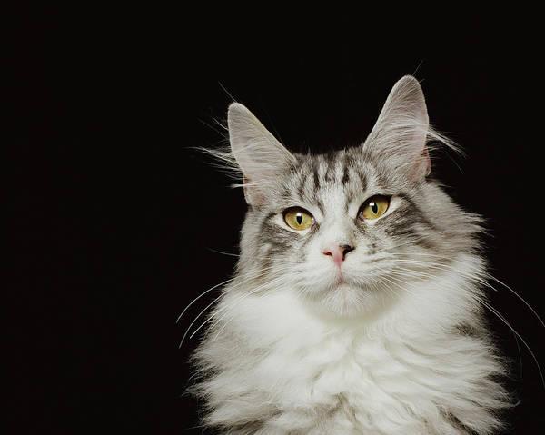Adult Maine Coon Cat, Close-up Art Print