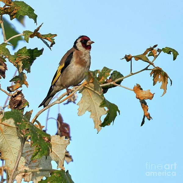 Photograph - Adult Male European Goldfinch by Pablo Avanzini