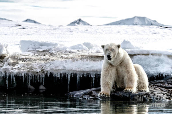 Wall Art - Photograph - Adult Male Polar Bear At The Ice Edge In Svalbard by Jane Rix