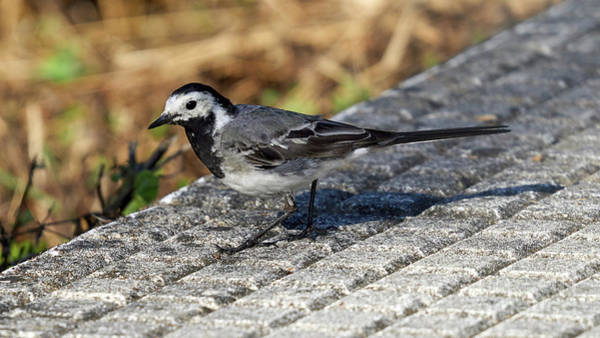 Photograph - Adult Male White Wagtail Standing by Pablo Avanzini