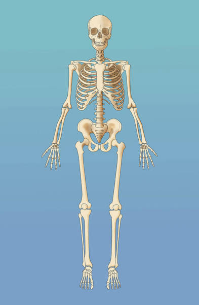 Wall Art - Photograph - Adult Skeleton, Illustration by Monica Schroeder