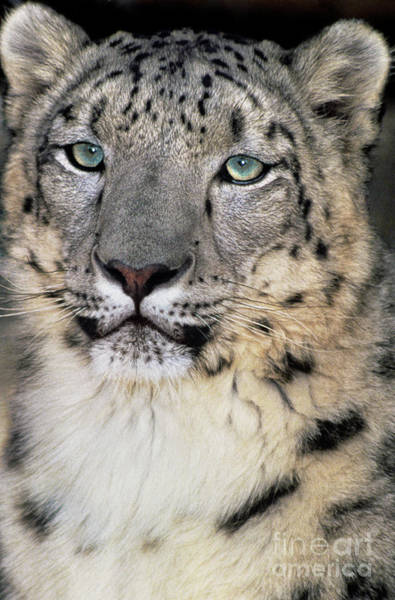 Photograph - Adult Snow Leopard Panthera Uncia Wildlife Rescue by Dave Welling