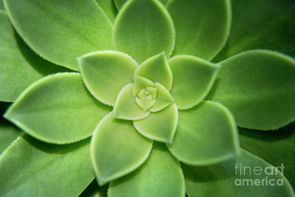 Wall Art - Photograph - Aeonium Urbicum by Julia Hiebaum