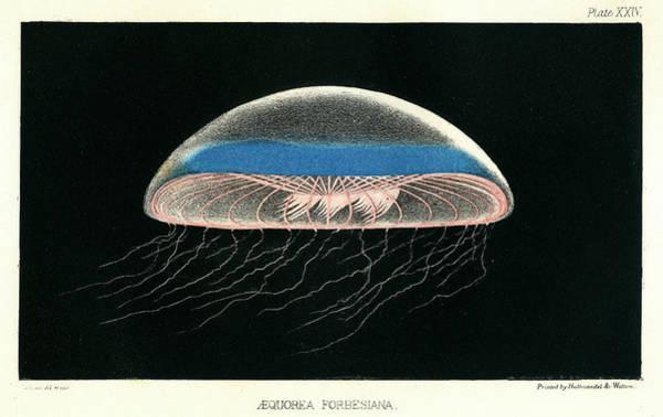 Mixed Media - Aequorea Forbesiana by Philip Henry Gosse