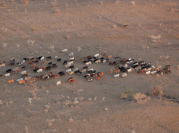 Photograph - Aerial View Grazing Cattle, Chyulu by Cultura Exclusive/philip Lee Harvey