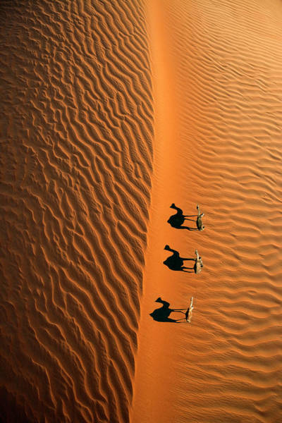 Wall Art - Photograph - Aerial View Of A Line Of Camels Casting by Miva Stock