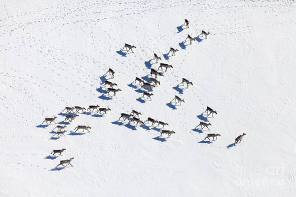 Wall Art - Photograph - Aerial View Of Herd Of Reindeer, Which by Vladimir Melnikov