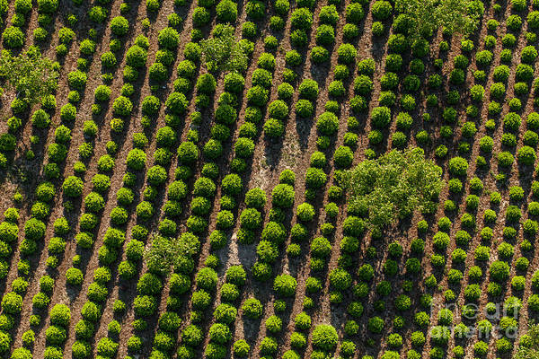 Conifer Photograph - Aerial View Of The Tree Plantation In by Mariusz Szczygiel