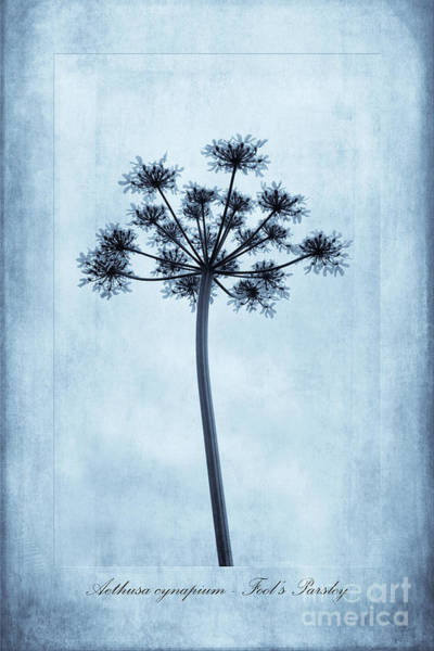 Parsley Photograph -  Aethusa Cynapium Cyanotype by John Edwards