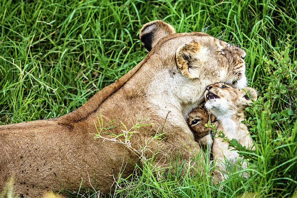 Wall Art - Photograph - Affectionate Lioness With Playful Baby Cubs by Susan Schmitz