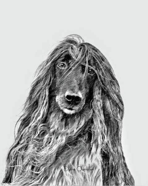 Digital Art - Afghan Hound 3 by Diane Chandler