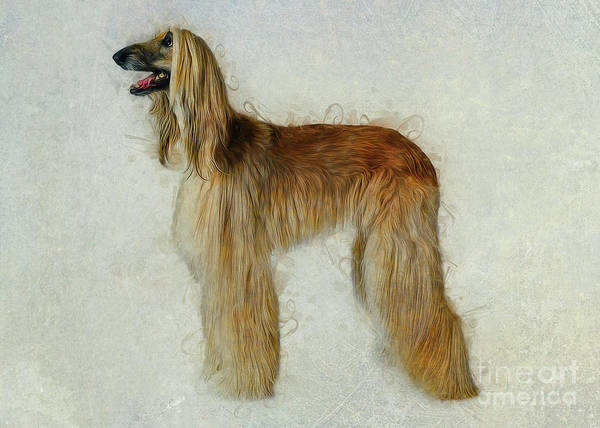 Digital Art - Afghan Hound by Ian Mitchell