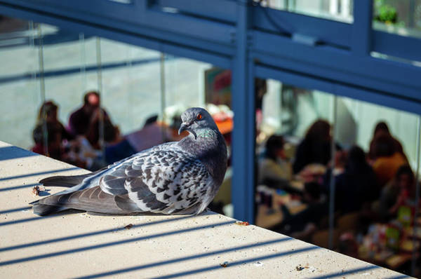 Photograph - Angry Pigeon by Borja Robles