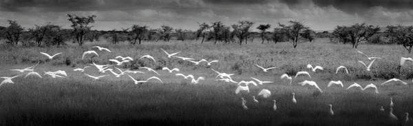Wall Art - Photograph - Africa, Tanzania, Maweni, Flock Of by Doug Menuez / Forrester Images