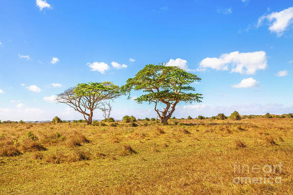 Photograph - African Acacia Trees by Benny Marty