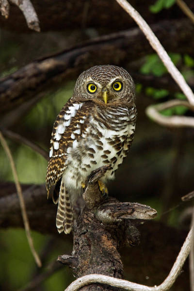 Wall Art - Photograph - African Barred Owl by David Hosking