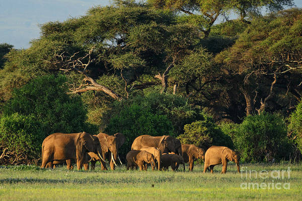 Wall Art - Photograph - African Bush Elephant - Loxodonta by David Havel