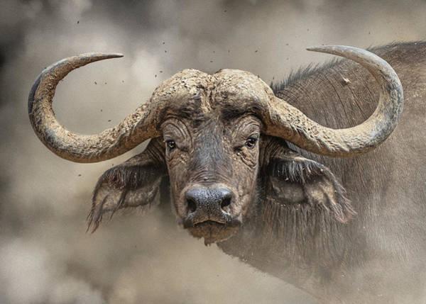 Wall Art - Photograph - African Cape Buffalo Closeup by Susan Schmitz