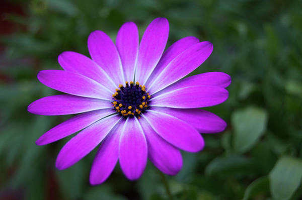 Photograph - African Daisy by Borja Robles