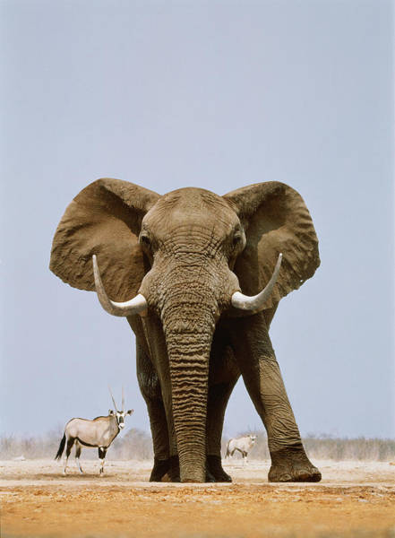 Protection Photograph - African Elephant And Gemsboks, Namibia by Art Wolfe