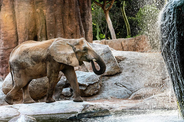 Photograph - African Elephant Drinking Water From A River. by Joaquin Corbalan