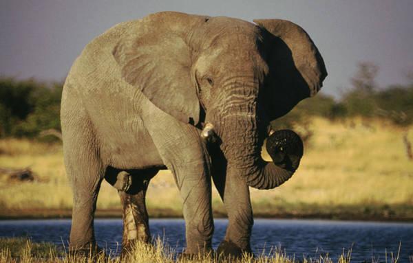 Safari Animal Photograph - African Elephant, Etosha National Park by Gannet77