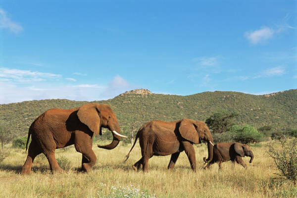 Savannah Photograph - African Elephant Family On The Move by James Warwick