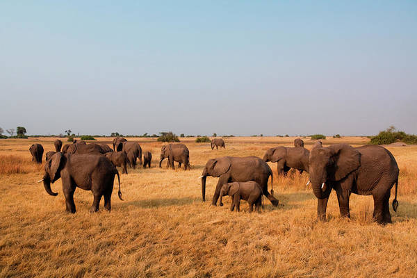 Botswana Photograph - African Elephant Herd, Botswana by Mint Images/ Art Wolfe