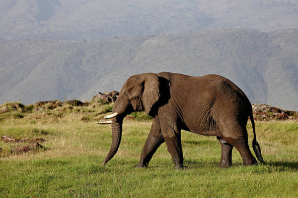 James Brown Photograph - African Elephant Loxodonta Africana by James Hager / Robertharding