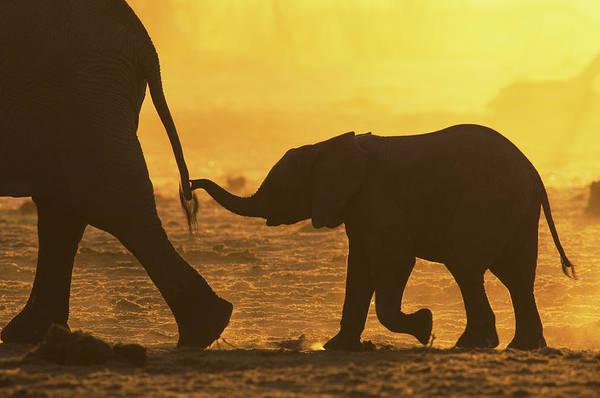 Dust Photograph - African Elephant Loxodonta Africana by Richard Packwood
