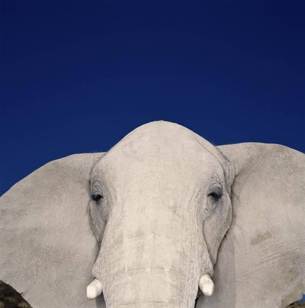 Safari Animal Photograph - African Elephant Loxodonta Africana by Ryan Mcvay