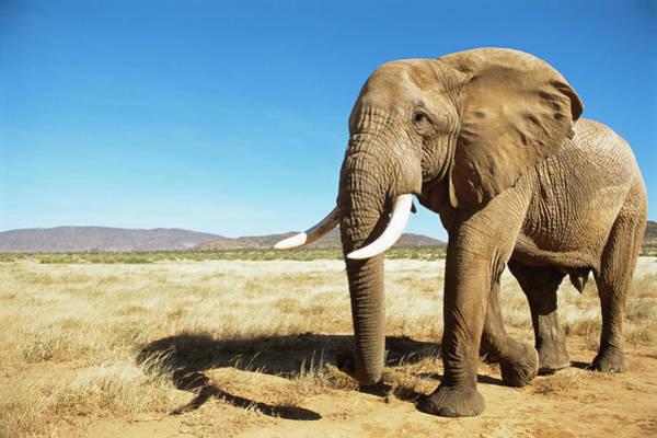 Savannah Photograph - African Elephant Male Encounter At Dawn by James Warwick