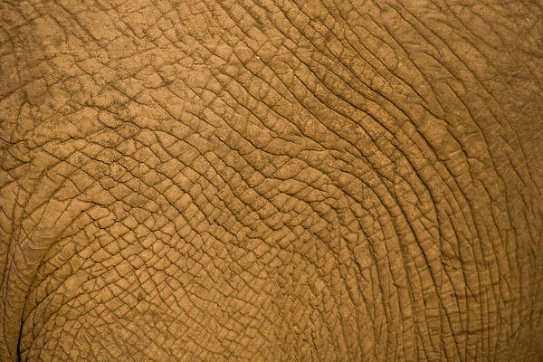 Wall Art - Photograph - African Elephant, Sabi Sand Reserve by Stuart Westmorland