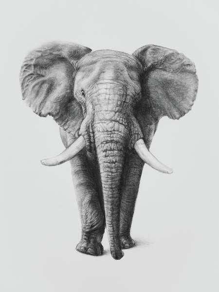 Wall Art - Drawing - African Elephant by Sue Tatham