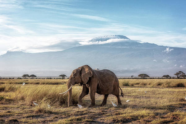 Wall Art - Photograph - African Elephant Walking Past Mount Kilimanjaro by Susan Schmitz