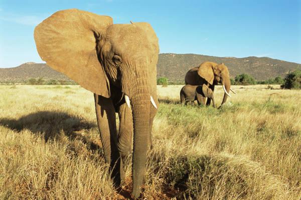 Savannah Photograph - African Elephants At Dawn by James Warwick