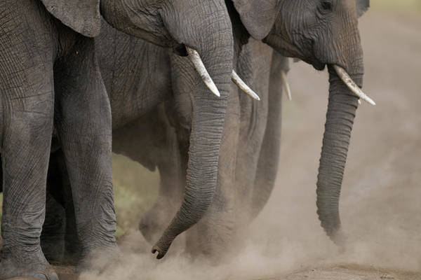 Dust Photograph - African Elephants Dust Bathing by Anup Shah