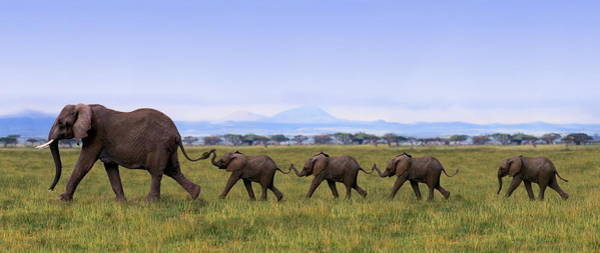 Coordination Wall Art - Photograph - African Elephants Loxodanta Africana by Art Wolfe