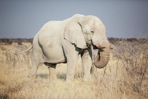 Dust Photograph - African Elphant Eating by Bjarte Rettedal
