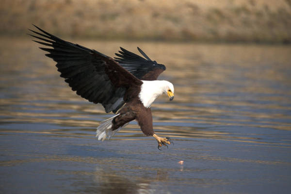 Wall Art - Photograph - African Fish Eagle by David Hosking