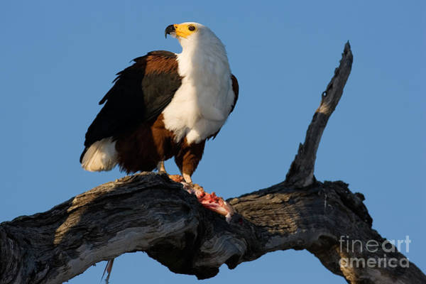 Wall Art - Photograph - African Fish Eagle Haliaeetus Vocifer by Johan Swanepoel