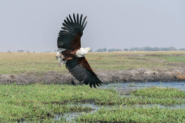 Wall Art - Photograph - African Fish Eagle In Flight by Brenda Tharp