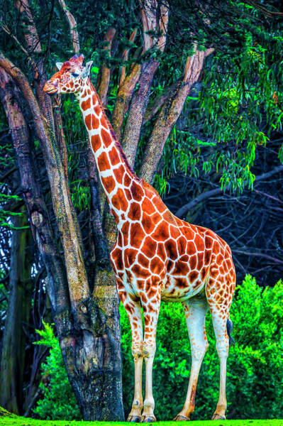 Wall Art - Photograph - African Giraffe by Garry Gay