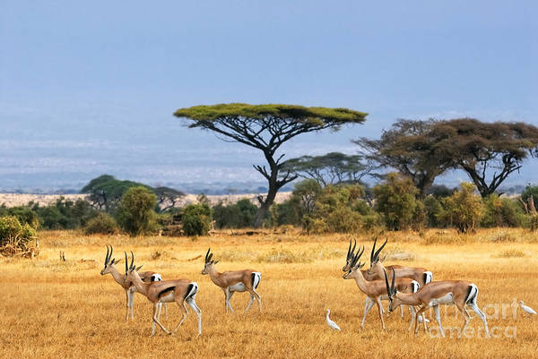Wall Art - Photograph - African Landscape With Gazelles by Oleg Znamenskiy
